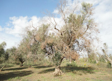 olivar-xylella