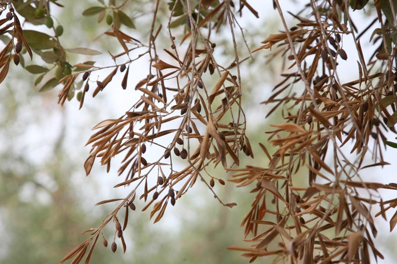 olivo-xylella-fastidiosa